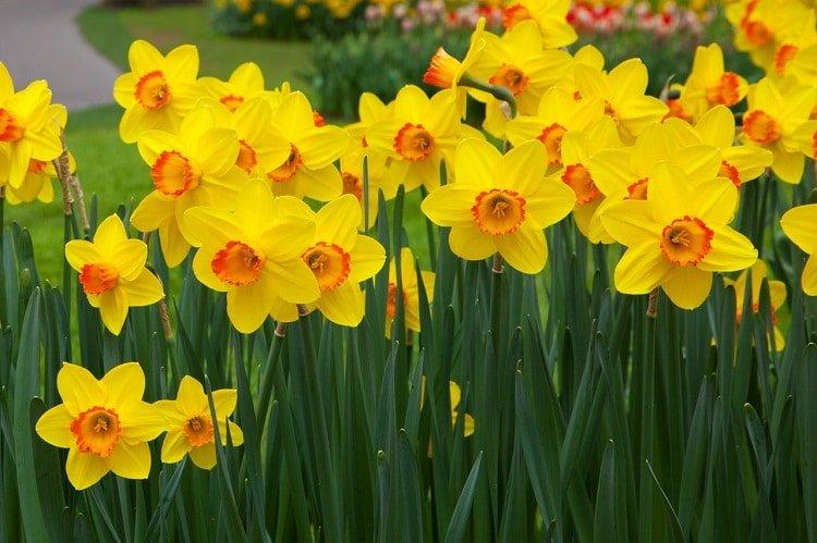 Shrub of daffodils with orange center corolla