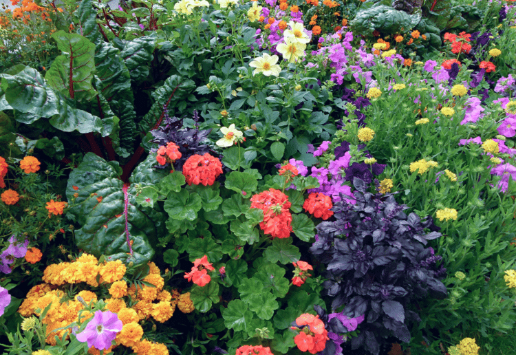 Colorful flowers growing among vegetables in a garden