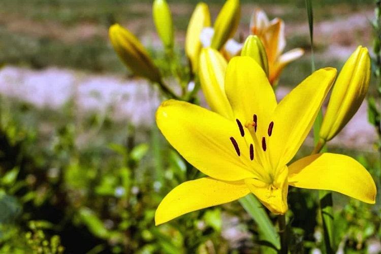 Full bloom yellow lily in the sun