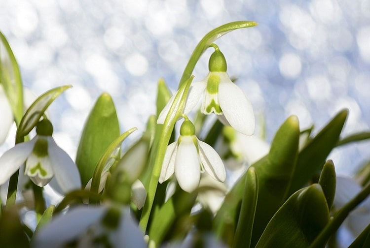 Snowdrops growing in the sunlight in glowing snow