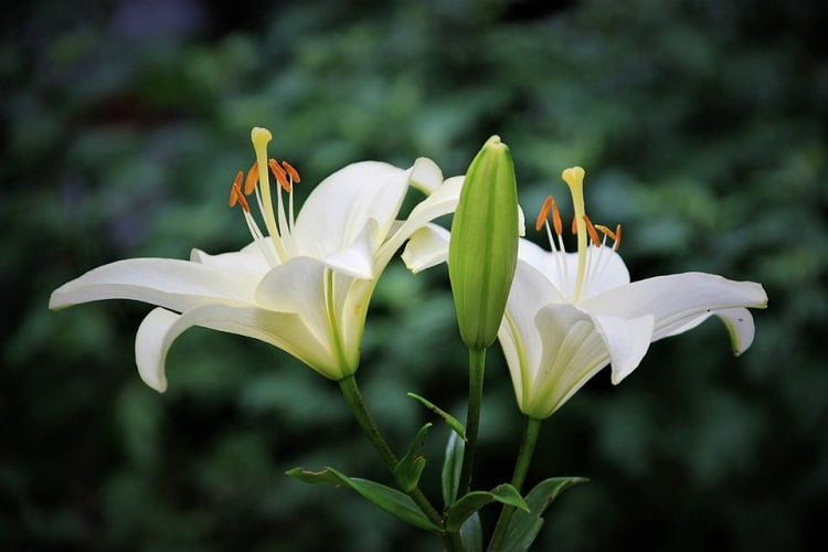 Two white lilies in a garden