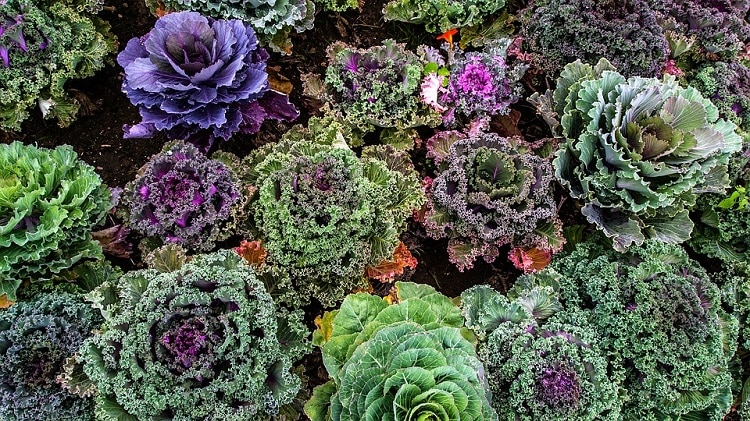 Types of lettuce and kale growing in a vegetable garden