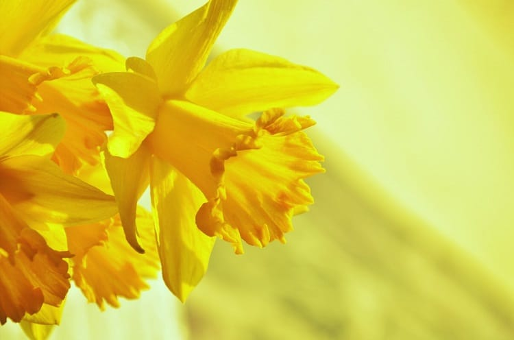 Three daffodil flowers on a pale green background
