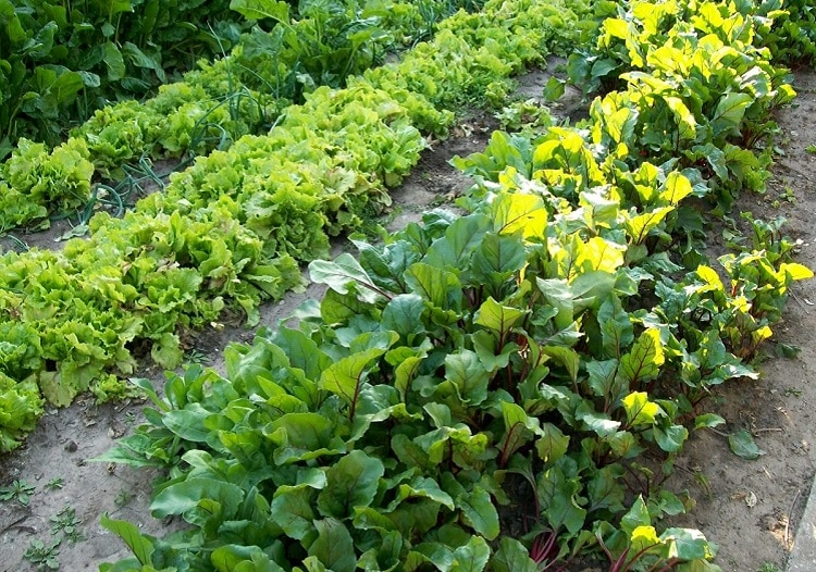 Greens growing in a vegetable garden
