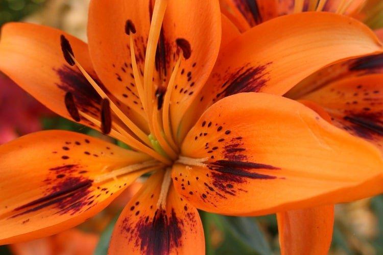 Full orange lily bloom