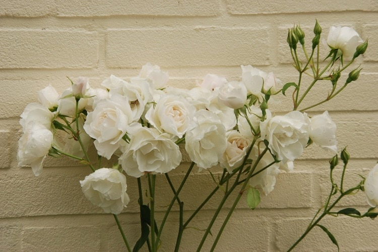 White roses in front of a white wall, wedding flower wall
