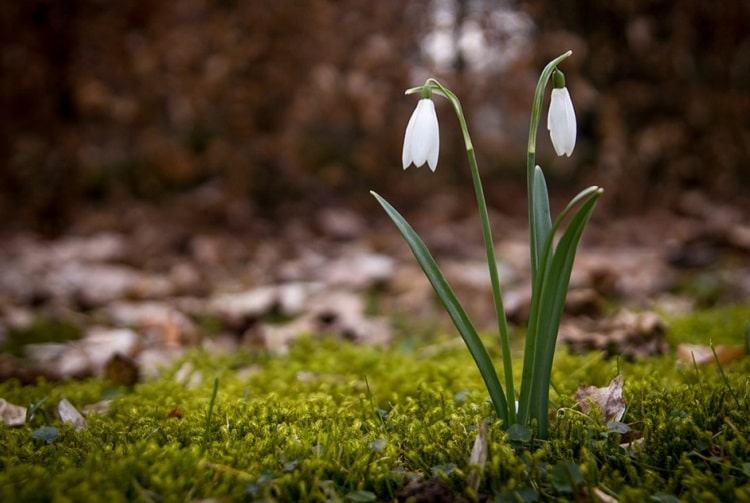 Two snowdrops growing on moss
