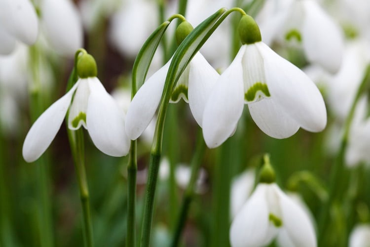 Snowdrops with open petals