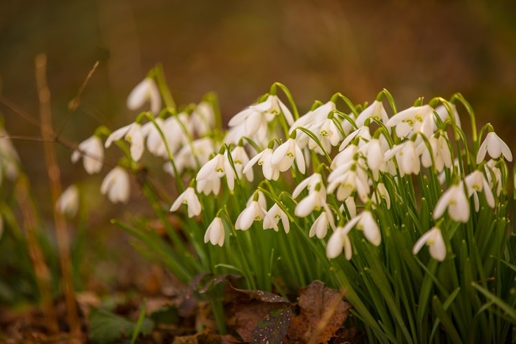 Many snowdrops growing from the ground