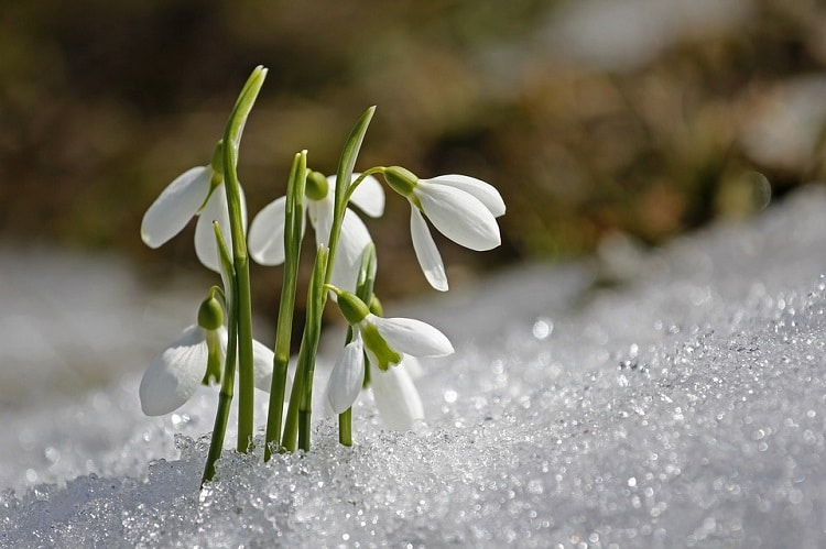 Several snowdrops growing in snow
