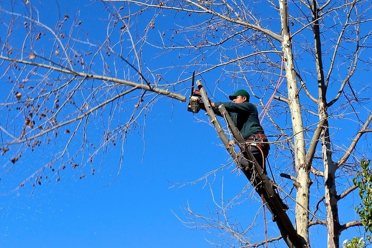 Man pruning the branches of a tree