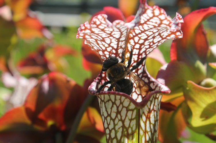 Carnivorous plant eating a bee