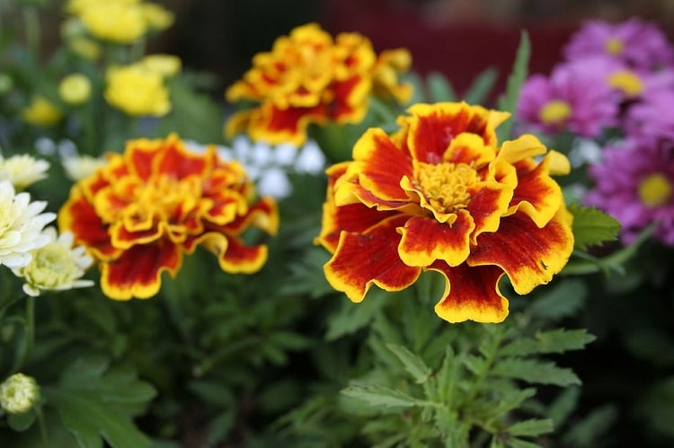 American marigolds with yellow and orange flowers