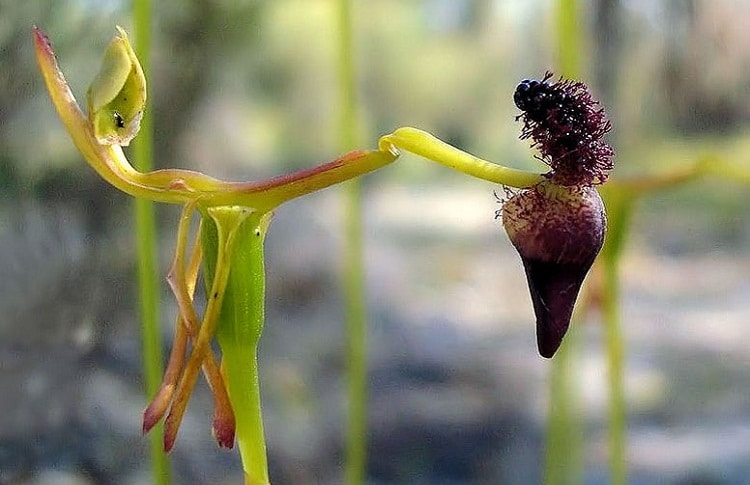 Hammer orchid luring a wasp