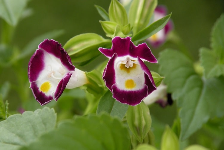 Two wishbone flowers colored in magenta and white