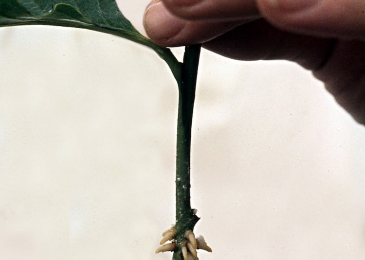 Person holding a cutting with tiny roots