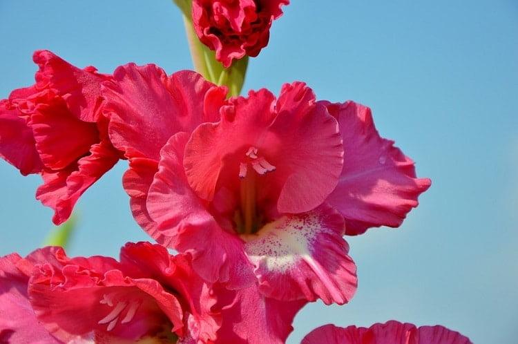 Pink gladiolus blooms in a garden