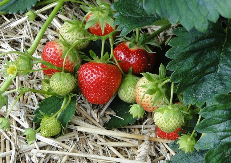 Red and green strawberries surrounded by straw