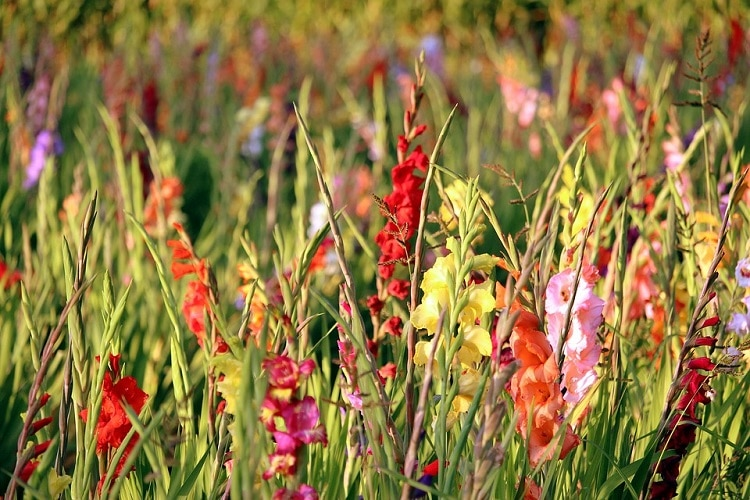 Colorful gladioli growing on a field