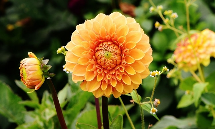 Yellow dahlia with tiny petals in the center