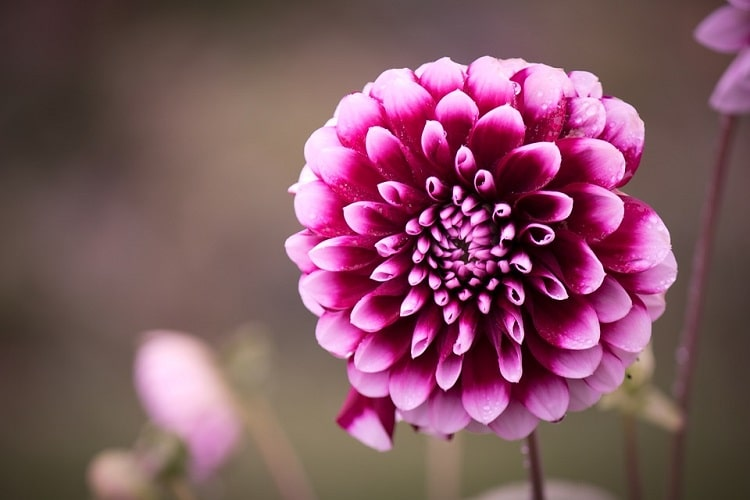 Big dahlia bloom with purple petals with pink tips
