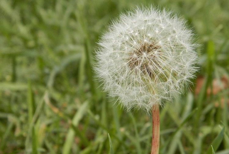 Dandelion with flying seeds growing in a field