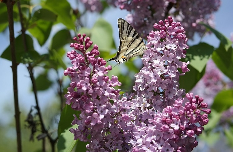 Butterfly flying close to some lilac flowers