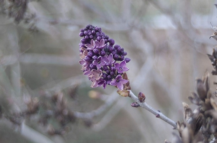 Small lilac cane in a thin shrub