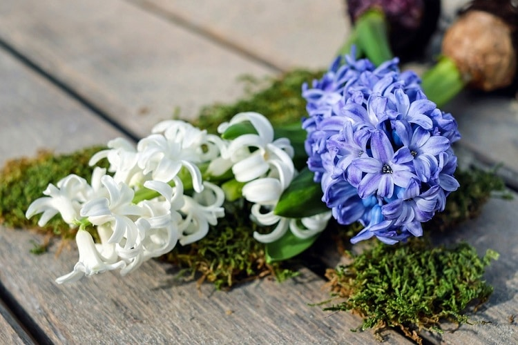 White and blue hyacinth stems with their bulbs