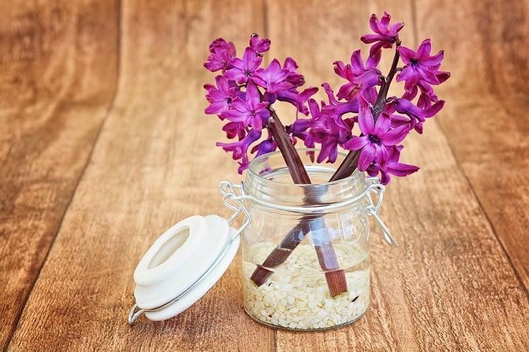 Bright purple hyacinths in a jar