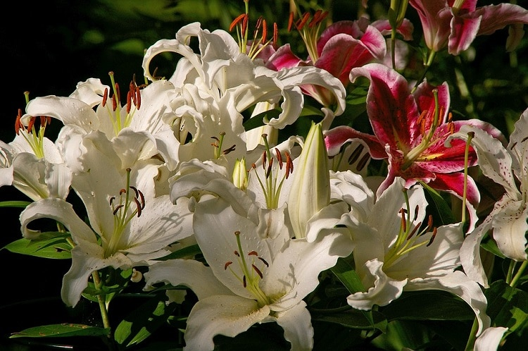 White and pink lilies in a garden