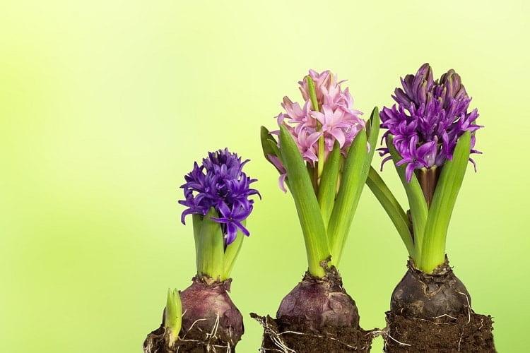 Three hyacinth stems on a blurry green background