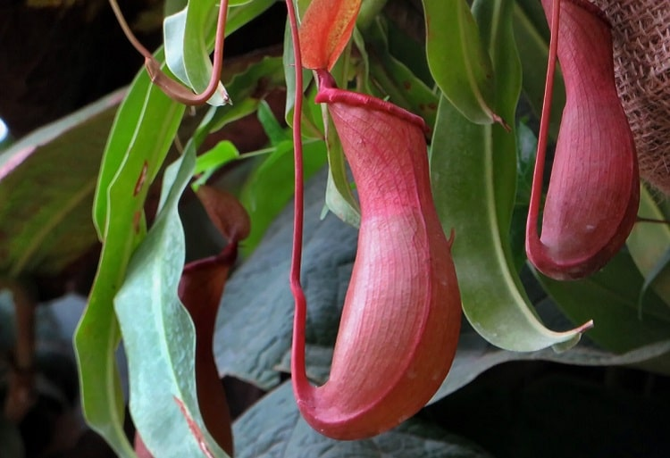 Open pitcher plant pouch waiting for its prey