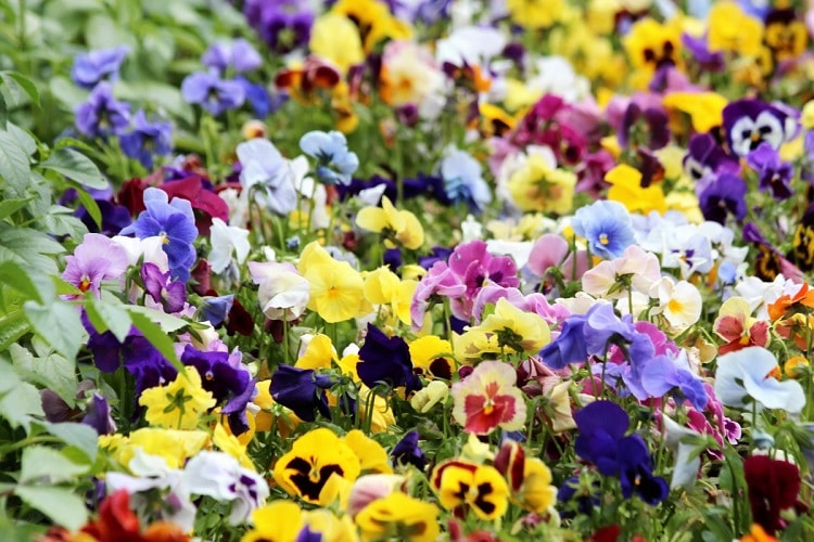 Colorful bushes of pansies growing in a garden