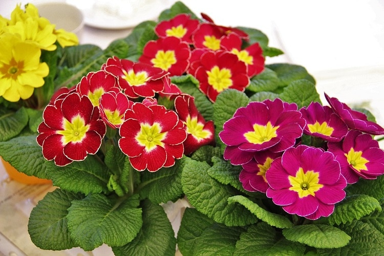 Red and purple primrose flowers with yellow center