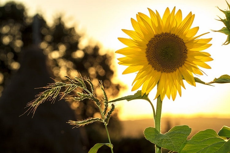 Sunflower with a sunset in the background