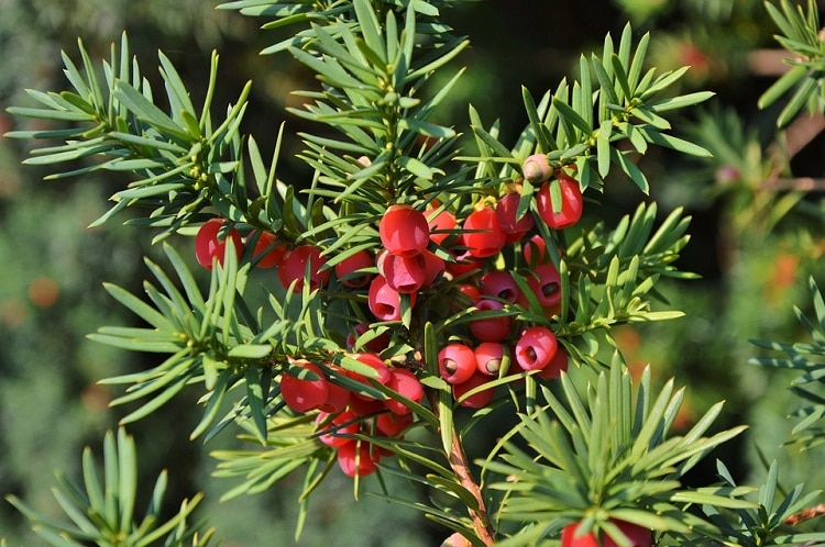 Yew branches with red fruits