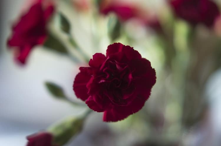 Red carnation flower in a vase