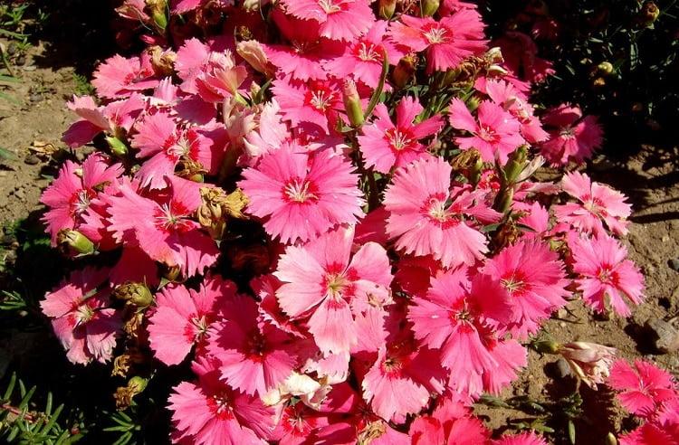 Turkish pink carnations in a garden