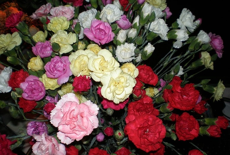 Carnations of all colors in a vase