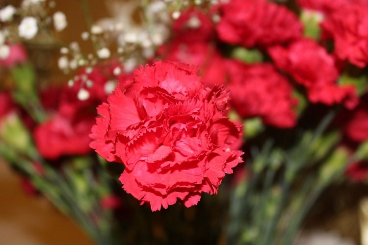 Red carnation with full petals
