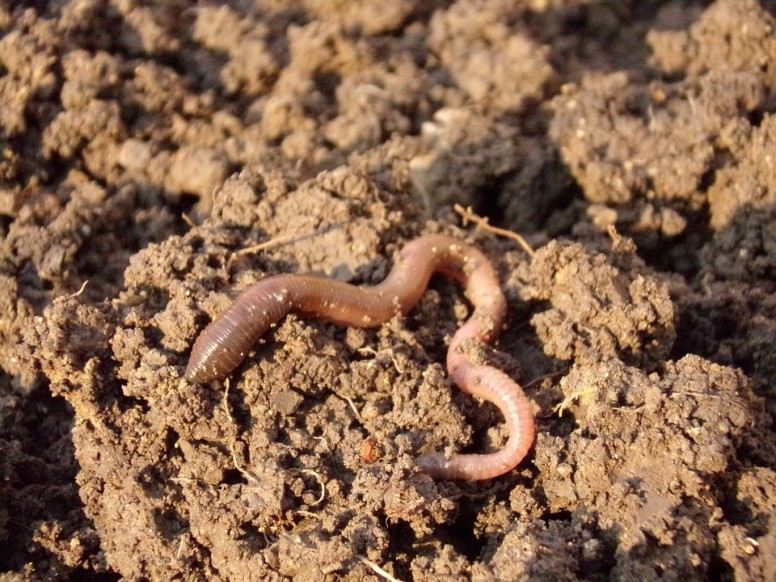 worms in your garden, garden, worms