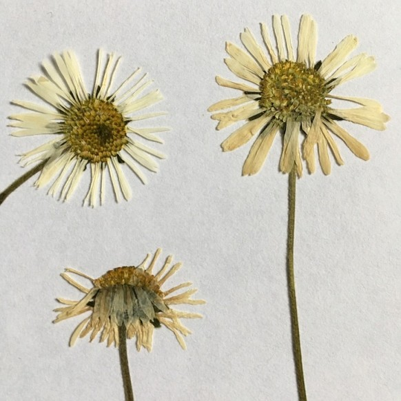 make pressed flowers last, pressed flowers, how to make pressed flowers last