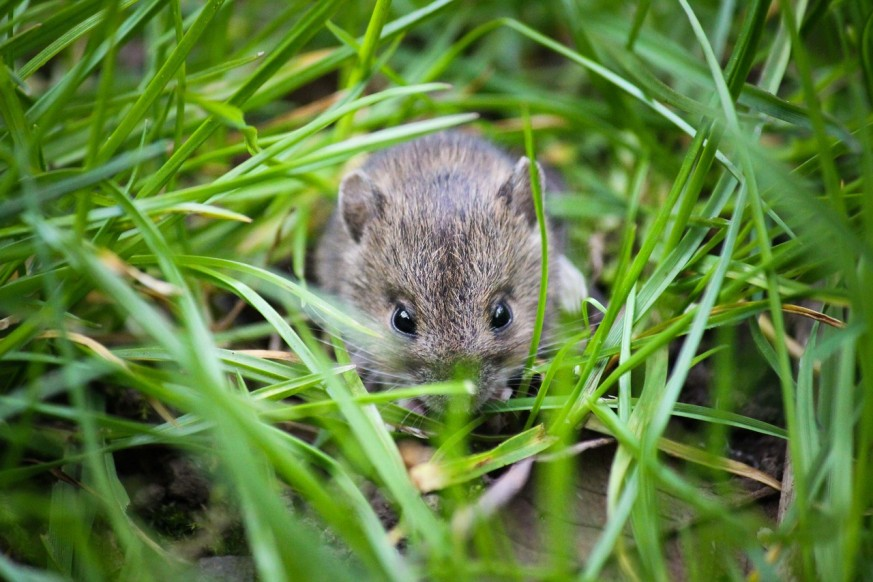 mice in your garden, mice, garden mice, garden, getting rid of mice