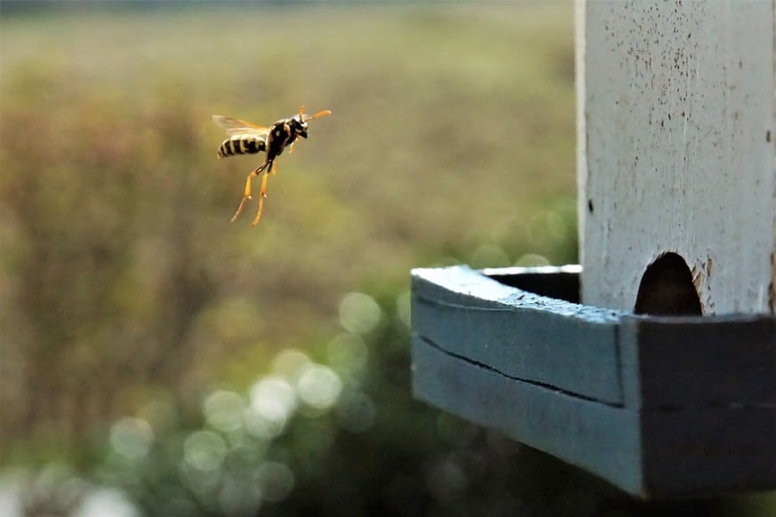 get rid of wasps, how to get rid of wasps naturally, wasps, wasp removal