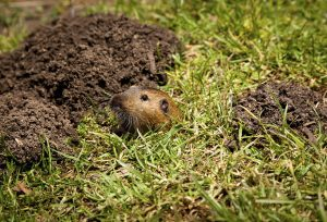 get rid of gophers the natural way