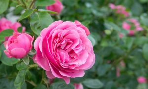 make your rose bush fabulous, things you can do to make your rose bush fabulous