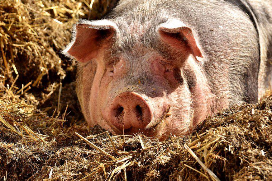 backyard pig