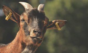 raising goats, how to raise goats, male goat, keeping goats, raising goats for beginners, free goats, raising goats for profit, why raise goats, selling goats for profit, is raising goats profitable, raising goats in texas, how to breed goats for profit