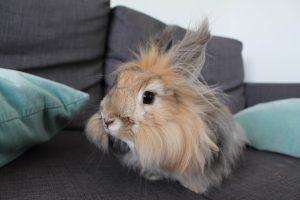angora rabbit, angora bunny, english angora rabbit, french angora rabbit, english angora, baby angora rabbit, angora, angora rabbit breeds, english angora bunny, how to care for angora rabbits, rabbit shears, how big do angora rabbits get, white angora rabbit, angora bunny rabbit, the angora rabbit, where do angora rabbits come from, how big do english angora rabbits get, giant angora rabbit, french angora, angora rabbit size, french angora rabbit care, british angora rabbit, german angora rabbit, types of angora rabbits, rabbit breeds, do angora rabbits make good pets, angora rabbit facts, dwarf angora rabbit, angora rabbit pet, dwarf angora, dwarf angora bunny, what is an angora, rabbit wool, angora rabbit wool, mini angora rabbit, satin angora rabbit, giant angora, giant english angora rabbit, angora rabbit for sale, english angora rabbit price, angora rabbit price, how much do angora rabbits cost, angora rabbit fur price, how much are english angora rabbits, how to raise angora rabbits, angora bunny for sale, english angora rabbit for sale, angora rabbit cost, how much are angora rabbits, for sale angora rabbits, breeding angora rabbits for profit, angora rabbit care, giant angora rabbit price, raising angora rabbits for profit, buy angora rabbit, angora wool fabric, where to buy angora rabbits, what do angora rabbits eat, how much do rabbits cost, how much do bunnies cost, where can i buy an angora rabbit, angora rabbits for sale near me, angora for sale, angora rabbit wool for sale